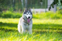 Jeune chien énergique sur une promenade Chien de traîneau sibérien images stock