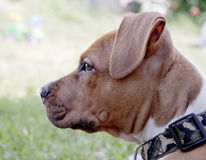 Jeune chien Photographie stock libre de droits