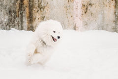 Jeune chien blanc Bjelkier, smiley, Sammy Playing Running de Samoyed images stock