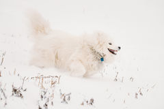 Jeune chien blanc Bjelkier, smiley, Sammy Playing Running de Samoyed image libre de droits