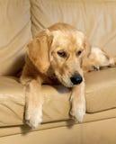 Jeune chien d'arrêt d'or. Images stock