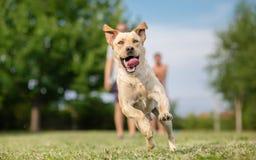 Jeune chien d'arrêt de Labrador Images libres de droits