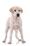 Jeune chien d'arrêt de Labrador blond Images stock