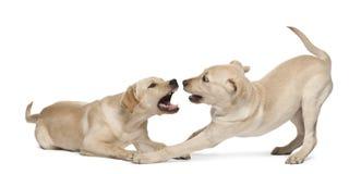 Jeune chien d'arrêt de Labrador, 4 mois Image libre de droits