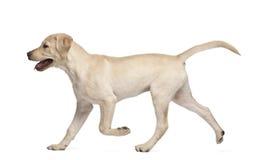 Jeune chien d'arrêt de Labrador, 4 mois Photographie stock