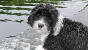 Jeune chien d'eau portugais noir et blanc Photos stock