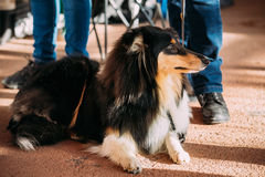 Jeune chien de berger de Shetland, Sheltie, chien de colley Photographie stock libre de droits