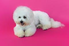 Jeune chien de Bichon Frise Images stock