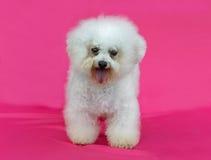 Jeune chien de Bichon Frise Images libres de droits