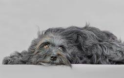 Jeune chien de Bichon Havanese Images libres de droits