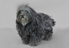 Jeune chien de Bichon Havanese Photos stock