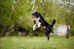 Jeune chien de border collie Image stock