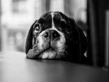 Jeune chien de boxeur Images stock