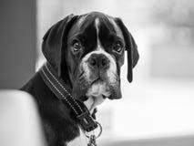 Jeune chien de boxeur Image stock