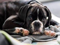 Jeune chien de boxeur Photos libres de droits