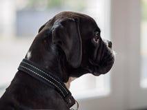 Jeune chien de boxeur Photographie stock