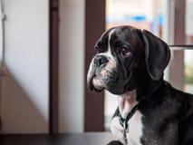 Jeune chien de boxeur Photo stock