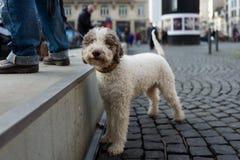 Jeune chien de boxeur Images libres de droits