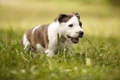 Jeune chien de bull-terrier du Staffordshire en parc Image libre de droits