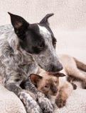 Jeune chien de Heeler léchant un petit chat siamois sur la tête Photographie stock libre de droits
