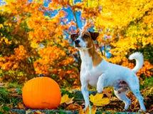 Jeune chien de Jack Russell Terrier près d'un séjour de potiron sur des escaliers images stock