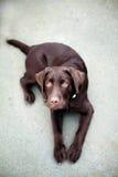 Jeune chien de labrador retriever de chocolat Images stock
