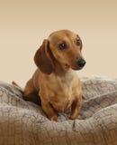 Jeune chien de teckel Photos stock