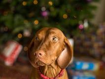 Jeune chien de Vizsla images stock