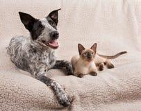 Jeune chien et chat se trouvant côte à côte sur une couverture molle Photo stock