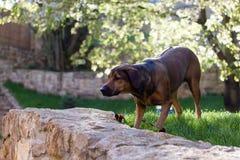Jeune chien heureux attendant pour jouer avec un jouet Yeux bruns heureux Bl Image stock