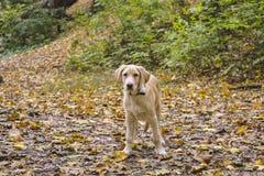Jeune chien Labrador photographie stock libre de droits