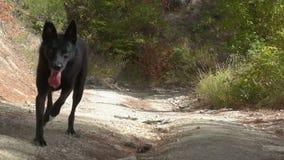 Jeune chien malinois noir dans la forêt Berger belge Mouvement lent clips vidéos