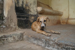Jeune chien mignon, vieux Goa Photos libres de droits