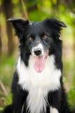 Jeune chien noir et blanc de border collie Photos libres de droits