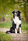 Jeune chien noir et blanc de border collie Images stock