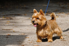 Jeune chien terrier de Norwich Photo libre de droits