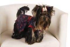 Jeune chien terrier de Yorkshire Images libres de droits