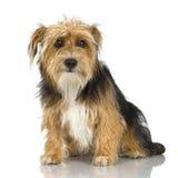 Jeune chien terrier de Yorkshire Photos stock