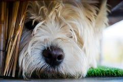 Jeune chien terrier triste Photos stock