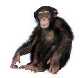 Jeune chimpanzé - troglodytes de Simia (5 années) Images stock