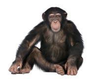 Jeune chimpanzé - troglodytes de Simia (5 années) Photographie stock libre de droits