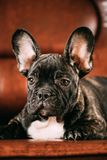 Jeune chiot noir de chien de bouledogue français avec la tache blanche Sit On Red Photographie stock libre de droits