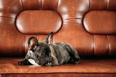 Jeune chiot noir de chien de bouledogue français avec la tache blanche Sit On Red Photo stock