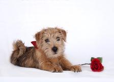 Jeune chiot se trouvant sur le plancher blanc et une rose rouge Photos libres de droits