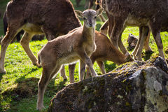 Jeune chèvre restant sur une roche Photos libres de droits