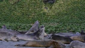 Jeune combat de phoques d'éléphant banque de vidéos