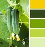 Jeune concombre dans le jardin échantillons de palette de couleur Photo libre de droits