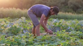 Jeune concombre masculin de cueillette d'agriculteur à la ferme organique d'eco banque de vidéos