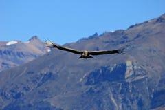 Jeune condor masculin volant au-dessus des montagnes Photos stock