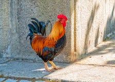 Jeune coq coloré, Gaïa, Portugal image libre de droits